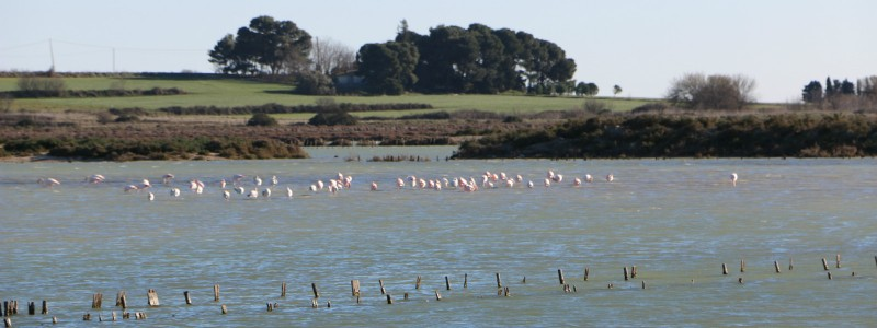 flamants roses salins